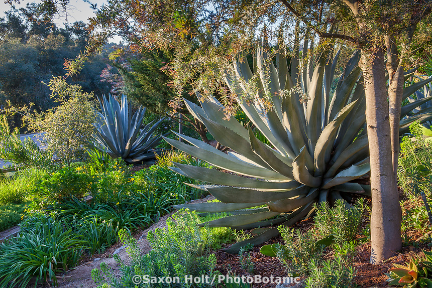 Agave americana Century Plants or Maguey, flanking pathway of succulents in Debra Lee Baldwin garden