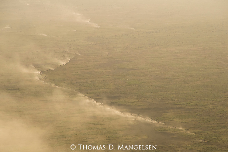 Migrating wildebeest and zebras kick up tremendous dust as they cross the plains of the Southern Serengeti.
