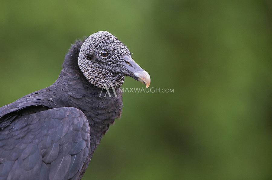 A common scavenger in Costa Rica.
