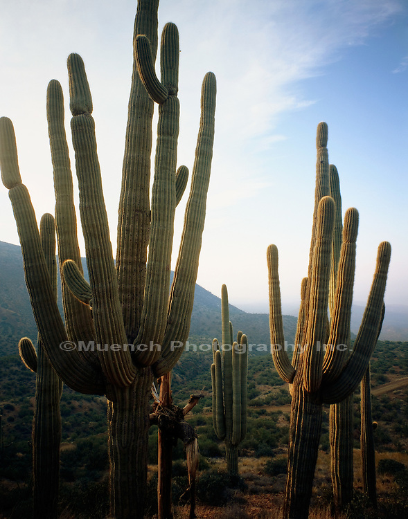 """Saguaro cacti, Sierra Ancha   ARIZONA"" , Salome Wilderness"