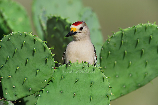 Golden-fronted Woodpecker (Melanerpes aurifrons), male perched on Texas Prickly Pear Cactus (Opuntia engelmanni), Laredo, Webb County, South Texas, USA