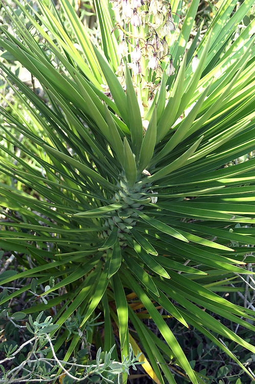 Sapanish bayonet is native to Mexico but is well established in Florida particularily along the coasts.  This is a young plant.