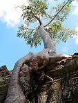 Trees Subsuming Preah Kahn Ruins, Cambodia