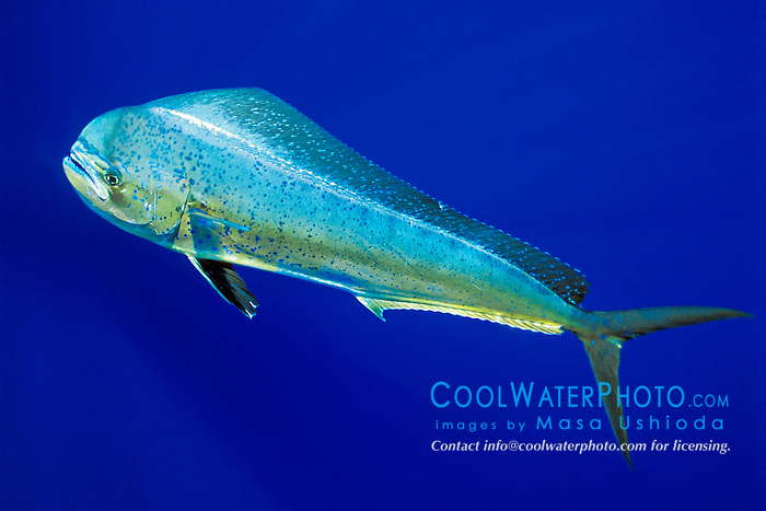 mahi mahi, dolphin fish, or dorado, Coryphaena hippurus, cow, off Kona Coast, Big Island, Hawaii, Pacific Ocean.