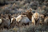 Elk herd in Silvercreek Canyon, UT