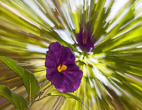 The Lycianthes rantonnetii is known as  potato bush or blue potato bush, Paraguay nightshade, and even Royal Robe.