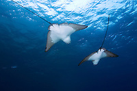 Spotted Eagle Rays (Aetobatus narinari) underwater off Darwin Island in the Galapagos Islands of Ecuador.