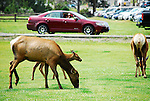 Elk graze in the front lawn of the Mammoth Hot Springs Visitor Center as traffic drive by  in Yellowstone National Park,