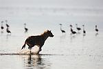 Spotted hyena (Crocuta crocuta) running into Lake Nakuru to hunt flamingos, Lake Nakuru National Park, Kenya