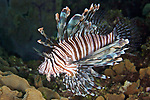 Pterois volitans, Common lionfish, Roatan