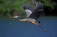 Great Blue Heron carrying grass to build nest..Spring. North America. (Ardea herodias).