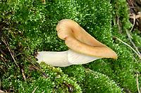 Tawny Funnel - Lepista flaccida