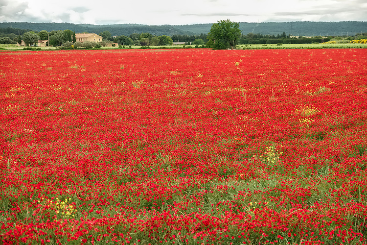 The orange field of flower blossoms in the Provence area of France dazzle the eye.