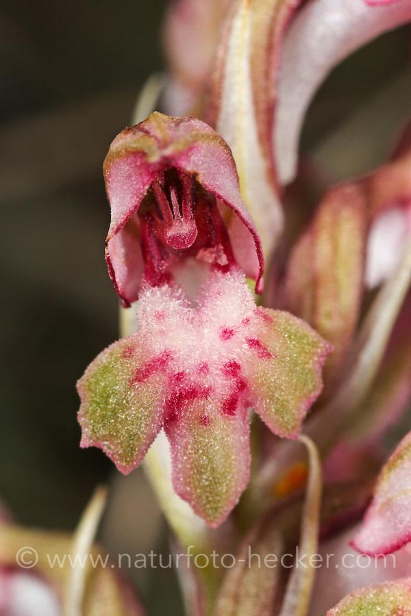 Wanzen-Knabenkraut, Stinkende Wanzen-Hundswurz, Orchis coriophora, Anacamptis coriophora, Bug Orchid, L'orchis punaise, orchis à odeur de punaise