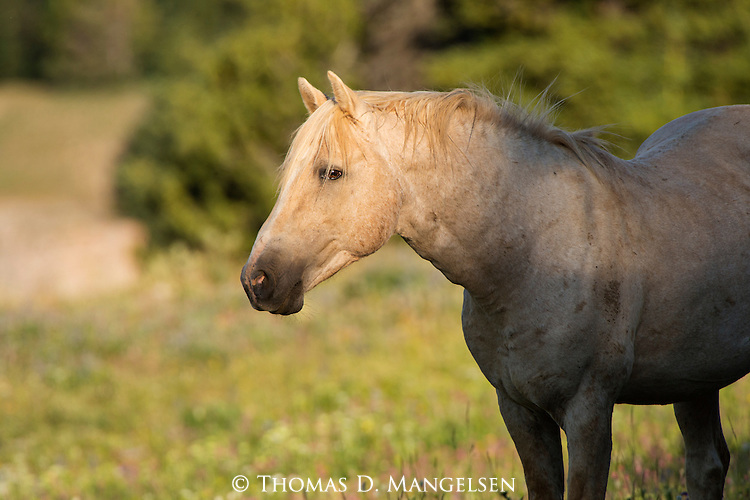 A wild horse stands in a field of wildflowers at sunrise in the Pryor Mountains, Montana.