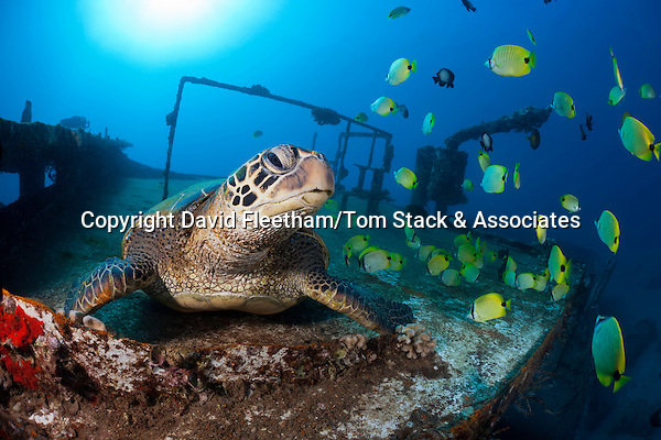 Green sea turtle, Chelonia mydas, an endangered species, and schooling milletseed butterflyfish, Chaetodon miliaris, endemic, on the wreck of the Saint Anthony, off Maui, Hawaii.
