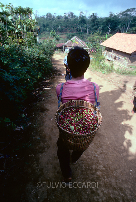 Indonesia, coffee, coffea, organic, cherry, cherries, harvest, process, carry, ripe, red, worker, woman, walk, back,