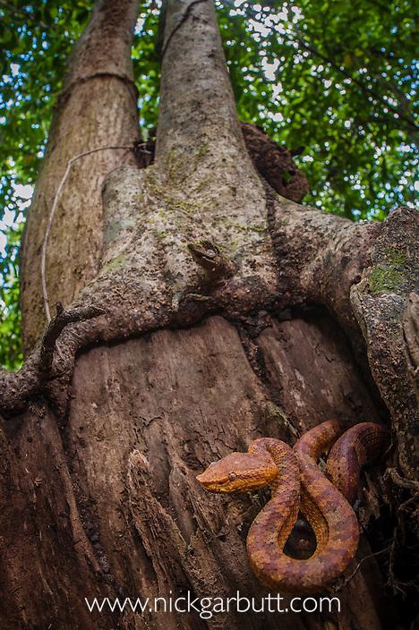 Bornean Leaf-nosed Pit-Viper (Trimeresurus borneensis) resting in forest understorey. Lower Kinabatangan Wildlife Sanctuary, Sabah, Borneo.