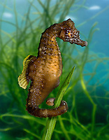 Short-snouted Seahorse Hippocampus hippocampus Length to 15cm<br /> Enigmatic, unmistakable fish. Extremely hard to observe and protected by law. Adult has classic seahorse shape; profile is angular; body lacks slender projections. Local, mainly along S coast of England.