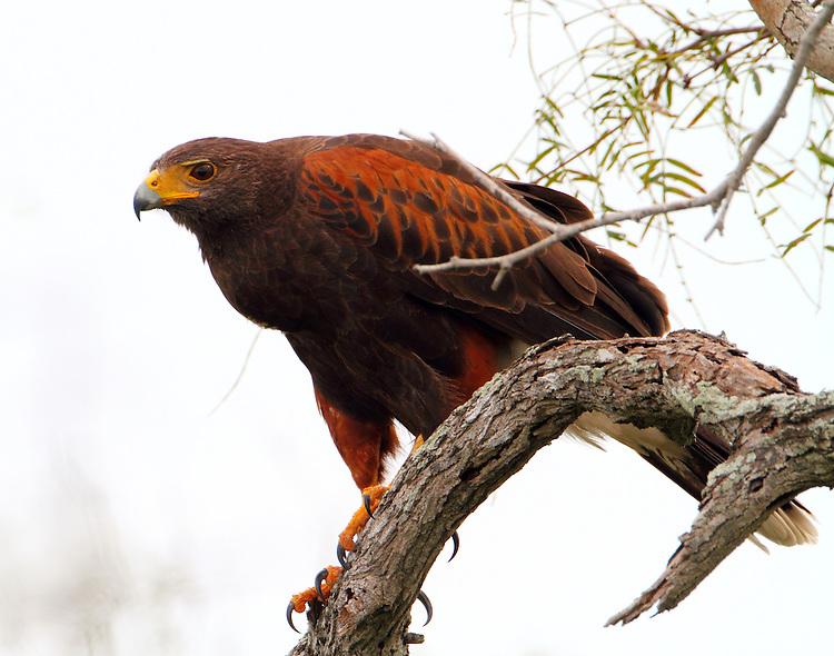 Haqrris's hawk