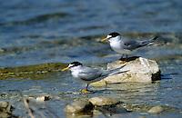 Zwergseeschwalbe, Zwerg-Seeschwalbe, Seeschwalbe, Sterna albifrons, little tern