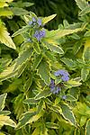 CARYOPTERIS × CLANDONENSIS 'PERIWINKLE TART VARIEGATED', BLUEBEARD