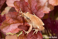 0811-0901  Spring Peeper Frog Climbing on Red Leaf, Pseudacris crucifer (formerly: Hyla crucifer)  © David Kuhn/Dwight Kuhn Photography