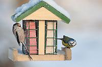 Blaumeise und Schwanzmeise an der Vogelfütterung, Fütterung im Winter bei Schnee, an Häuschen mit Fettfutter, Energiekuchen, Winterfütterung, Blau-Meise, Meise, Cyanistes caeruleus, Parus caeruleus, blue tit, , Schwanz-Meise, Aegithalos caudatus, long-tailed tit, Mésange à longue queue
