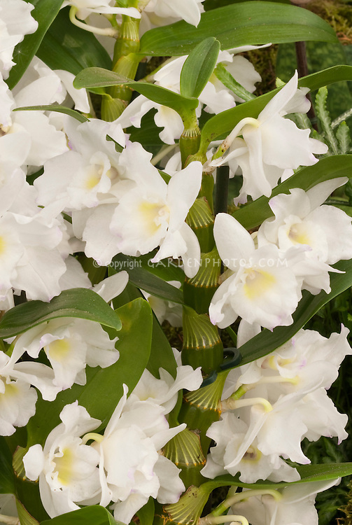 Dendrobium nobile orchids | Plant & Flower Stock ...