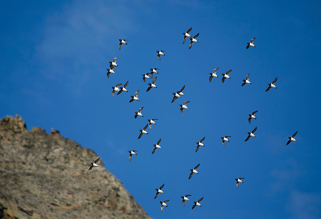 Little Auks in flight, this shows their characteristic tight formation. Spitsbergen