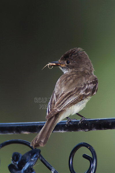Eastern Phoebe, Sayornis phoebe, adult with insect prey perched on chair, Hill Country, Texas, USA, April 2007
