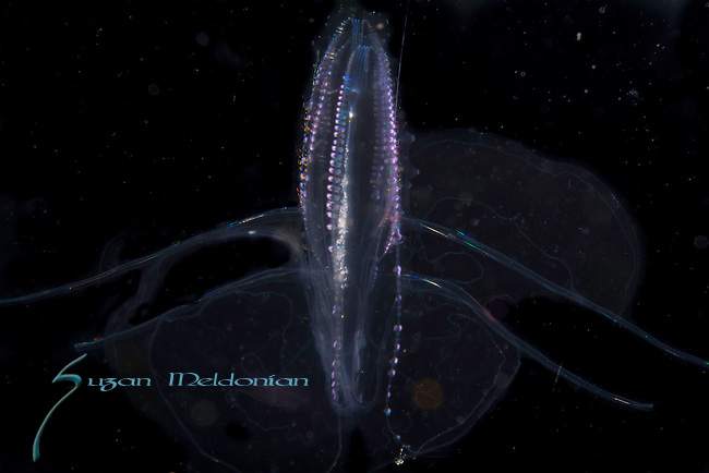Comb Jellyfish, Warty comb jellyfish, Leucothea multicornis