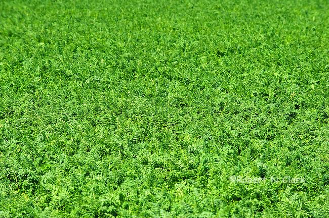 Carrots growing in a field near Westmoreland, California
