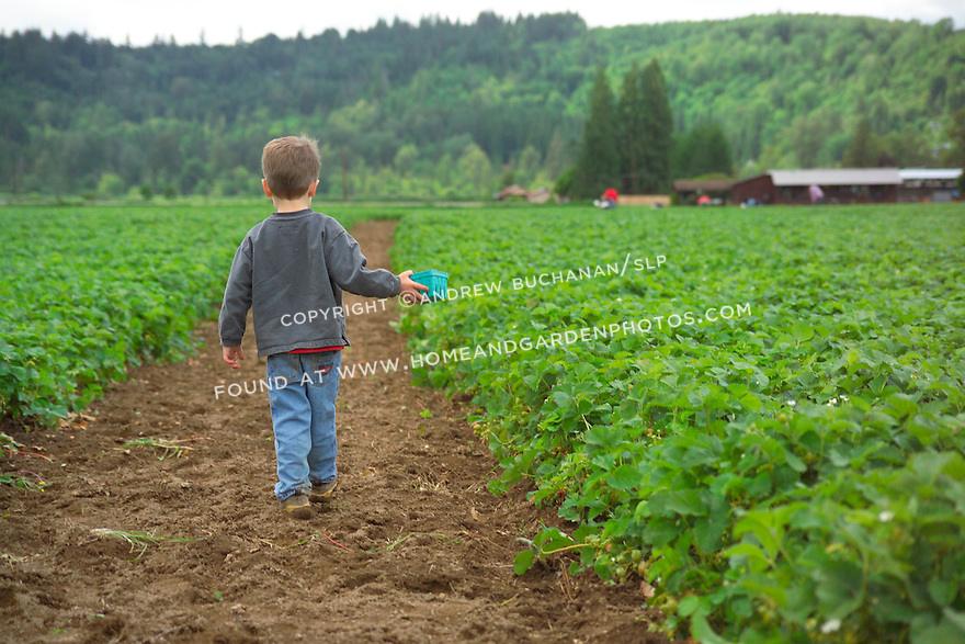 a four year old boy holds a picking basket and walks away from the camera down a long dirt road through the middle of a vast green strawberry field