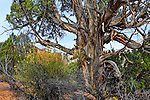 A Bristlecone Pine Tree at Kodachrome Basin State Park, Utah, USA