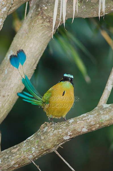 Blue-crowned Motmot, Momotus momota, adult perched, Central Valley, Costa Rica, Central America, December 2006