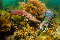 Giant Cuttlefish, Sepia apama, mating pair at breeding aggregation, small male pretended to be a female to sneak passed a larger male at right that was guarding the female, Point Lowly, Whyalla, South Australia, Australia, Spencer Gulf, Southern Ocean