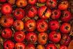 Rotting apples in rows with fall leaves in water