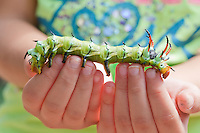 Regal Moth Caterpillar  (Citheronia regalis), also called the royal walnut moth<br /> walking along a kid's fingertips.  Selective focus on the caterpillar's head.