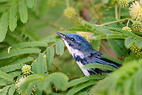591730011 a wild male cerulean warbler songbird setophaga cerulea - was dendroica cerulea - perches in thick brush on south padre island cameron county texas