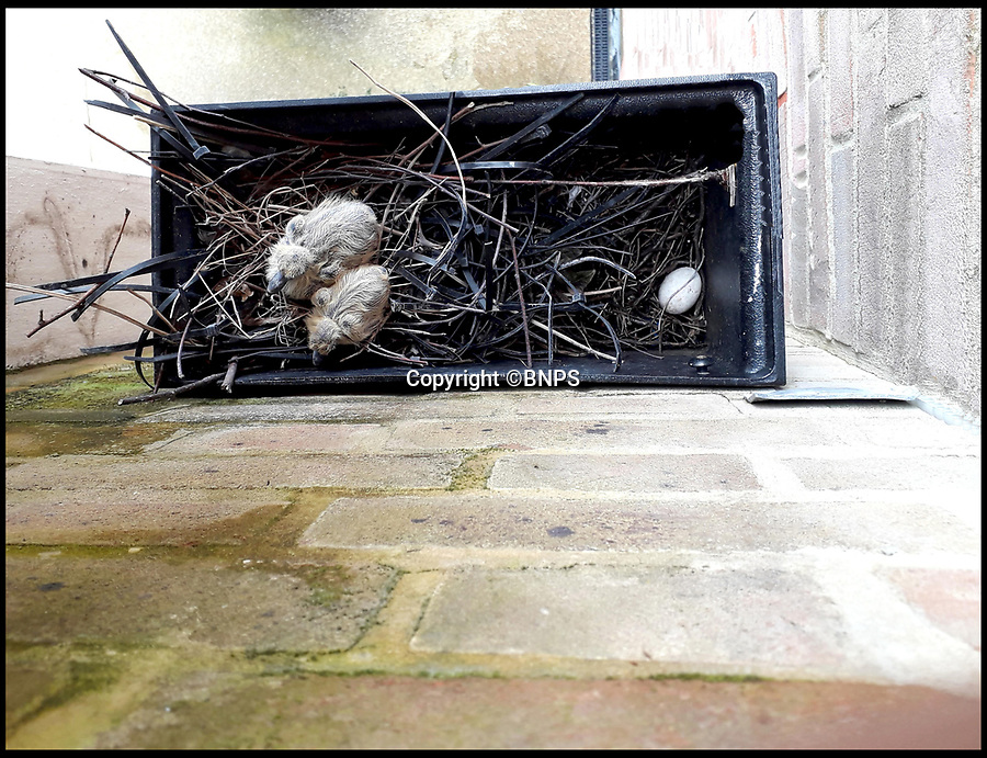 BNPS.co.uk (01202 558833)<br /> Pic:   BNPS<br /> <br /> These startling pictures show how plastic cable ties have been used by birds to make a nest in Prince Charles' model village of Poundbury.<br /> <br /> A pair of adult pigeons picked up dozens of the black strips and weaved them among twigs and sticks to make the nest.<br /> <br /> It was spotted by a local resident inside the hopper of a downpipe on the side of the block of flats in Poundbury, near Dorchester, Dorset.