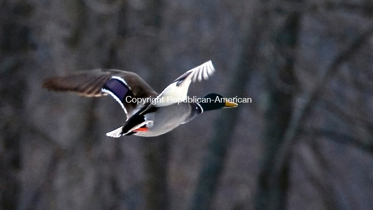 SOUTHBURY, CT-122713JS07-FOR COUNTRY LIFE--A duck takes flight over Gravel Pond in Southbury on Friday.  <br /> Jim Shannon Republican-American