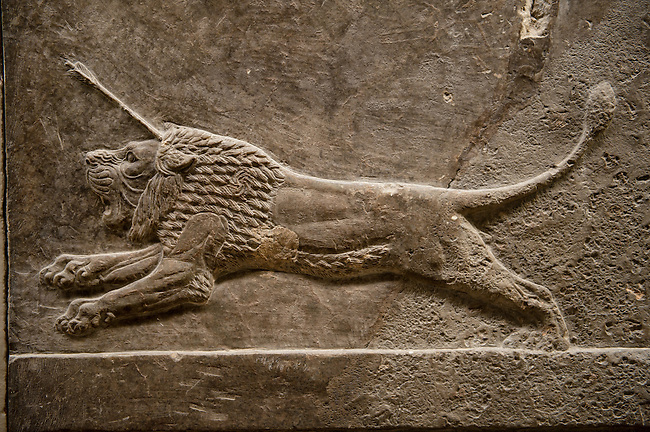 Assyrian relief sculpture panel of a lion being hunted.  From Nineveh  North Palace, Iraq,  668-627 B.C.  British Museum Assyrian  Archaeological exhibit