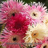 Gisela, FLOWERS, BLUMEN, FLORES, photos+++++,DTGK2399,#f#, EVERYDAY