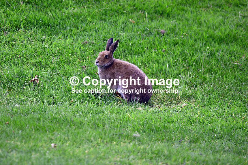 Irish hare is unperturbed by the golf activity. Ref: 200506286616. This image was taken at the K Club, Co Kildare, Ireland, during the Smurfit European Open Golf Championship practice and Pro-Am days. ..Copyright Image from Victor Patterson, 54 Dorchester Park, Belfast, UK, BT9 6RJ..Tel: +44 28 9066 1296.Mob: +44 7802 353836.Voicemail +44 20 8816 7153.Skype: victorpattersonbelfast.Email: victorpatterson@mac.com.Email: victorpatterson@ireland.com (back-up)..IMPORTANT: If you wish to use this image or any other of my images please go to www.victorpatterson.com and click on the Terms & Conditions. Then contact me by email or phone with the reference number(s) of the image(s) concerned.