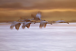 Flock of Sandhill cranes fly over the Platte River in Nebraska.