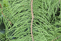 Pond Cypress Taxodium ascendens (Taxodiaceae) HEIGHT to 18m. Slender, conical to columnar deciduous tree. BARK Grey and ridged in older specimens. BRANCHES Horizontal but curving down sharply at tips, and fine shoots that curved upwards with small clasping leaves and give a knotted-cord look. Deciduous shoots are shed in autumn. There is a fine display of autumn colours, starting orange and turning brown. LEAVES Pale green and 8mm long; arranged spirally. REPRODUCTIVE PARTS Male flowers are yellowish-green, hanging catkins up to 20cm long. Female flowers are produced on the same tree at base of male catkins, first appearing in autumn, but not opening until spring. Rounded cones up to 3cm long are green at first but ripen brown. STATUS AND DISTRIBUTION Native of the SE USA, growing in wet ground by ponds and swampy ground. Introduced into Britain, where it succeeds only in warmer parts of the south.