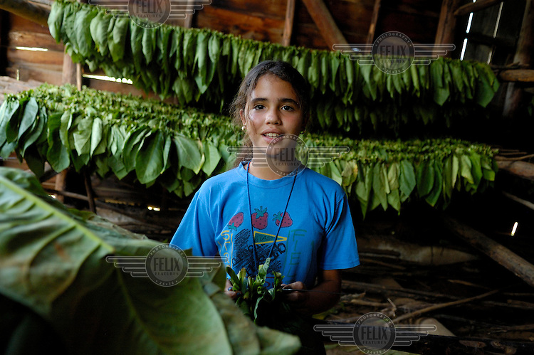 A young plantation worker hangs up freshly harvested tobacco leaves (for cigar making) inside a drying hall in the Valle de Vinales.