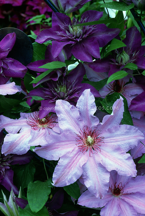 Clematis The First Lady (bottom) in pale pastel pink and lavender striping with red stamens, with purple clematis