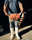 AUSTRALIA, Kangaroo Island, fisherman holding king crab